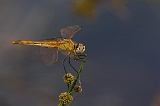 Sympetrum_fonscolombii1006003