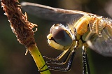 Sympetrum_fonscolombii1007053