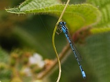 Acanthagrion_temporale1802065