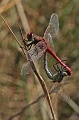 Sympetrum_fonscolombii0806940